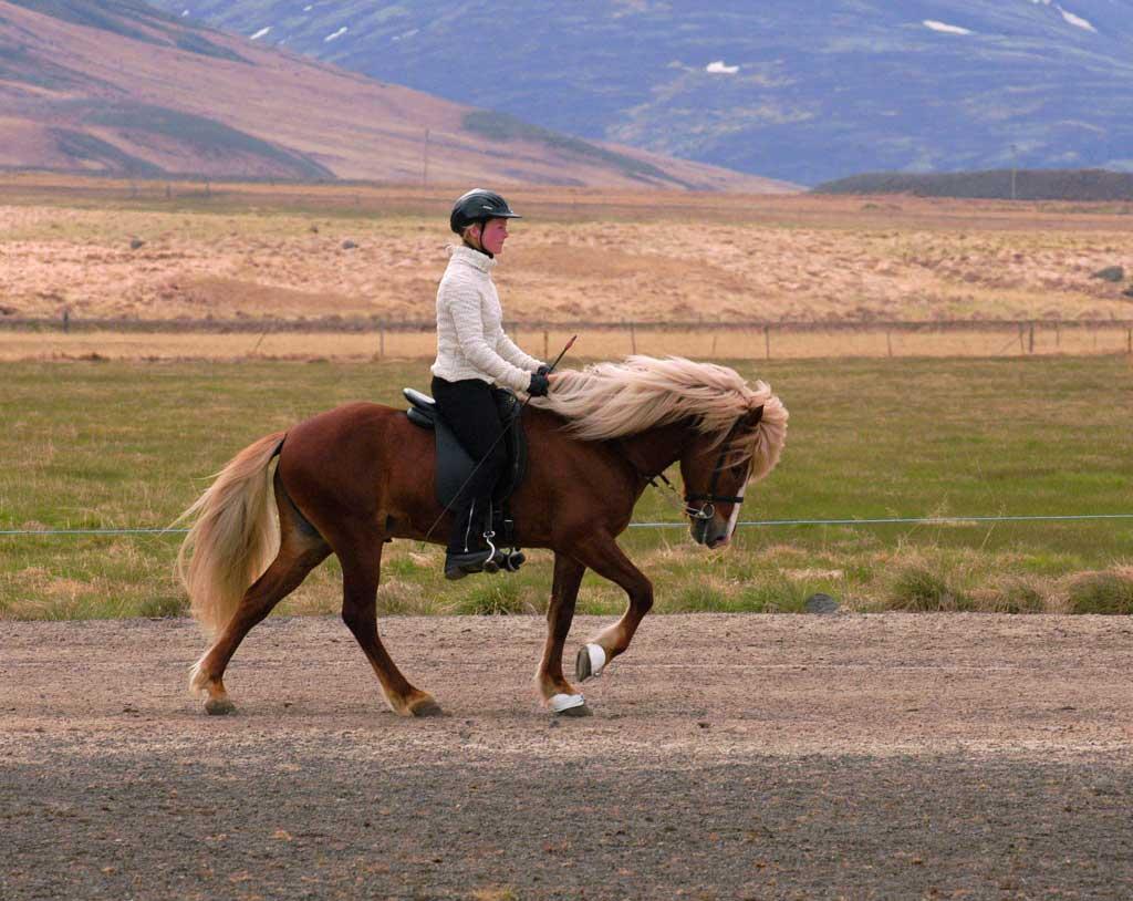 icealndic-horse-PAS
