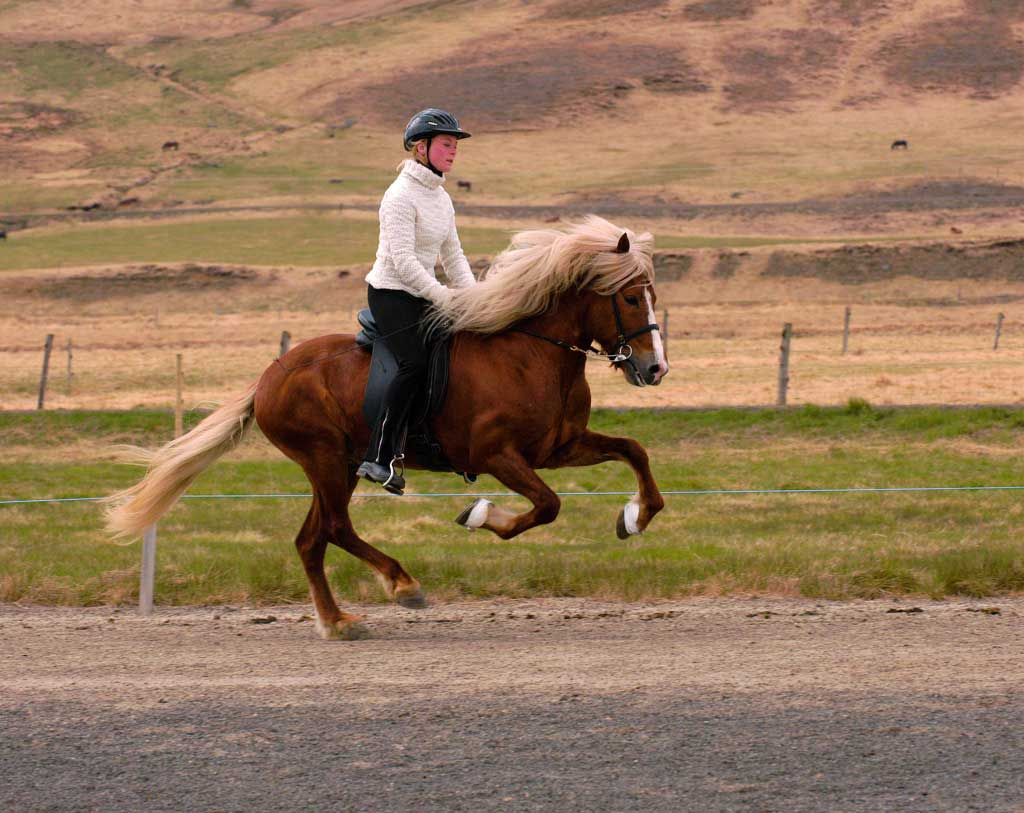 icelandic-horse-GALOP
