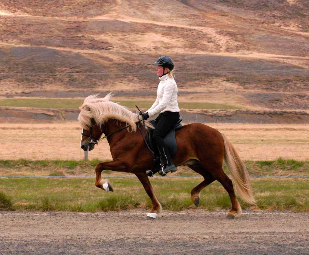 icelandic-horse-TROT