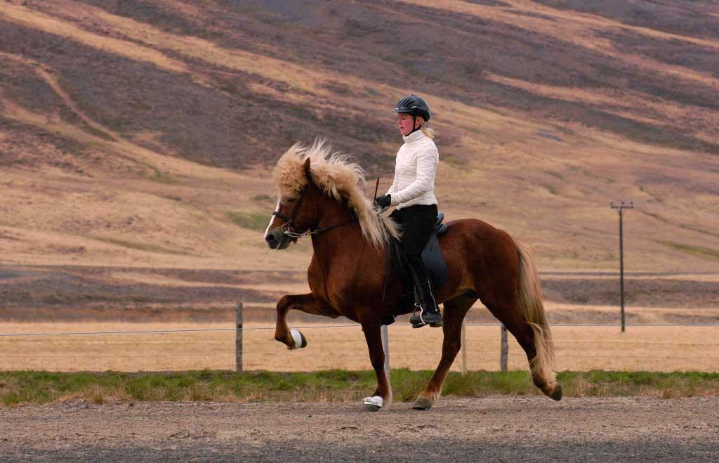 icelandic-horse-ToLT