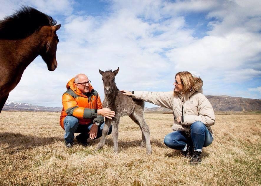 Un poulain se fait caresser par ses propriétaires à Miðhraun