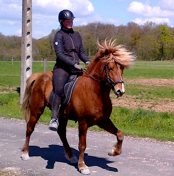 Copar de la Huilerie, cheval islandais, fils de Glóðafeykir frá Halakoti, tölt chez Pur Cheval