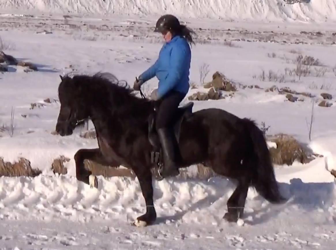 Kormákur frá Miðhrauni in trot with Svanhvít Kristjánsdóttir riding for Pur Cheval