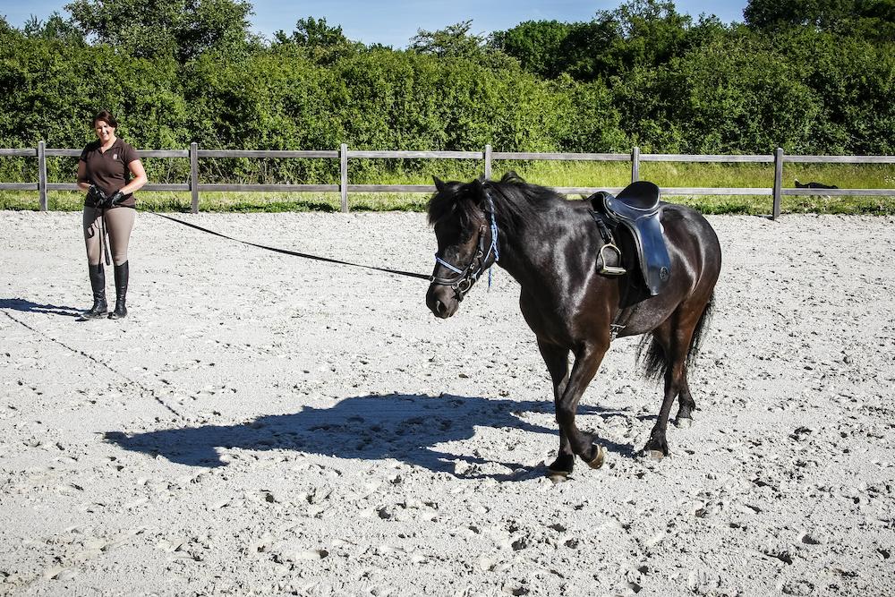 Débourrage d'un cheval islandais à la longe chez Pur Cheval