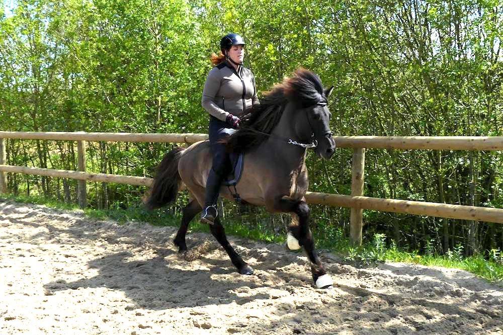 Entraînement d'un cheval islandais en carrière chez Pur Cheval