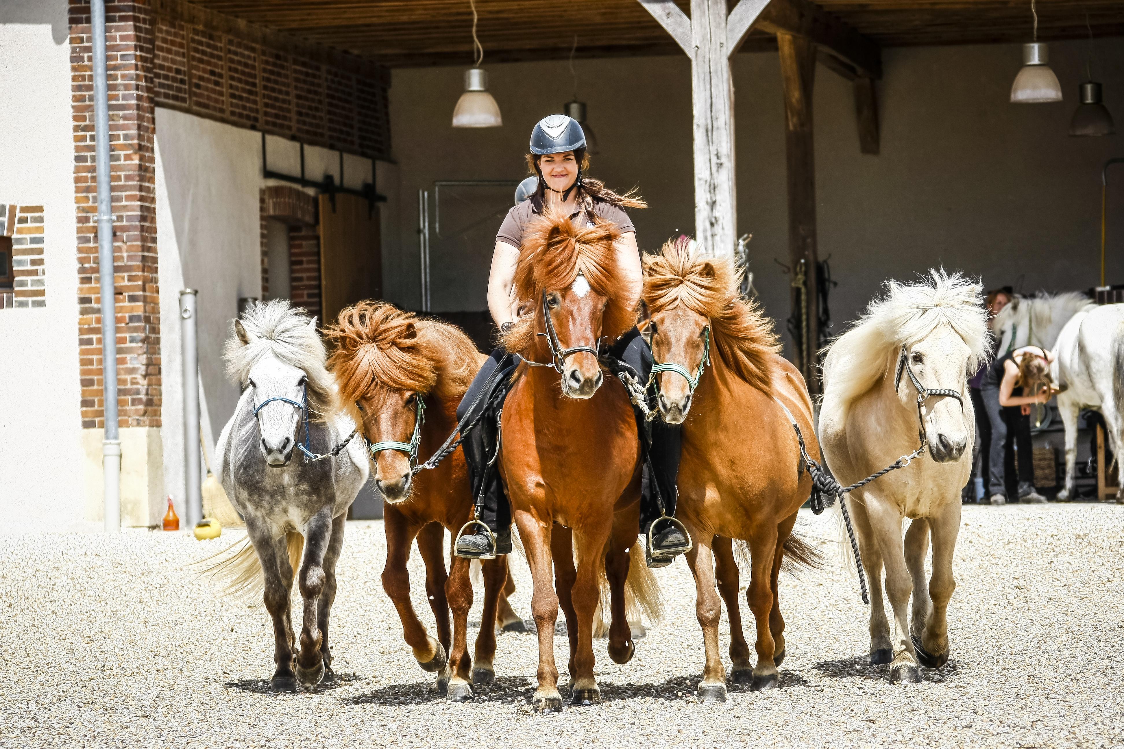 Travail de jeunes chevaux islandais en extérieur chez Pur Cheval